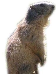 Une marmotte juré